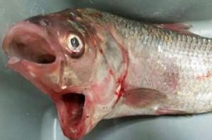Peixe de duas bocas é capturado na Austrália