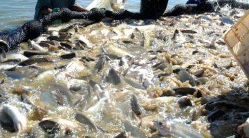 Meta do Brasil é produzir 3 milhões de toneladas anuais de pescado até 2020
