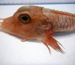 Peixe de águas profundas é capturado em Ubatuba, SP