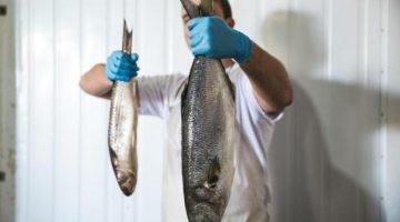 Safra de tainha termina com 1,3 mil toneladas de peixes e pescadores artesanais já miram anchova
