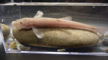 Descoberto primeiro peixe de caverna europeu