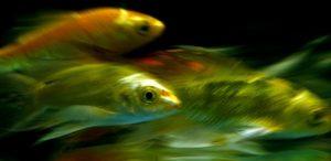 Clique Ciência: Os peixes bebem água?