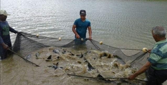 Tilápia é o tipo de peixe mais produzido no Brasil