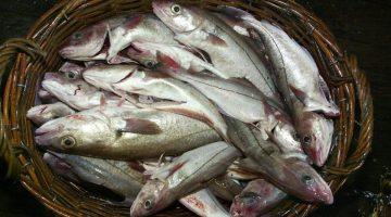 Cientistas alertam que aquecimento global vai deixar peixes nanicos