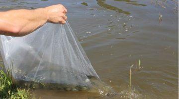 Procura por alevinos demonstra que produtor ainda acredita na piscicultura