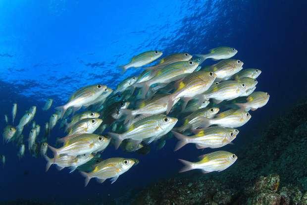 Aquecimento global força a migração de peixes