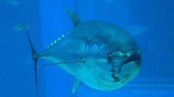 Atum rabilho do Pacífico