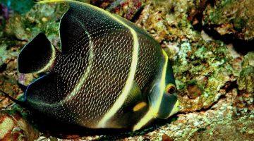 Pesquisa de brasileiro explica cores vivas dos peixes de coral
