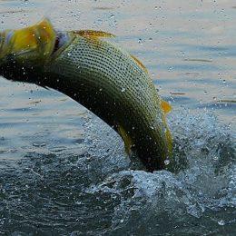 Dez dicas para pescar dourado