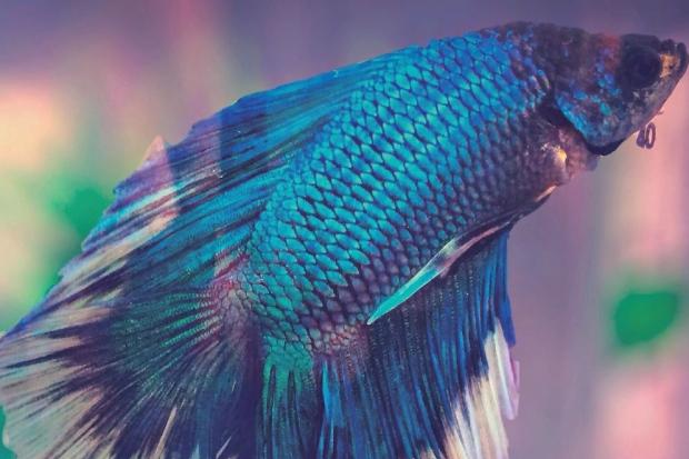 Peixe betta: a espécie que embeleza as águas