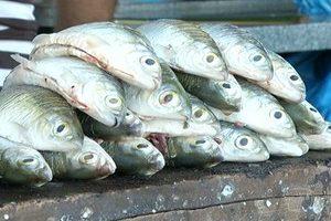 Com o fim do período do defeso, pesca de oito espécies está liberada