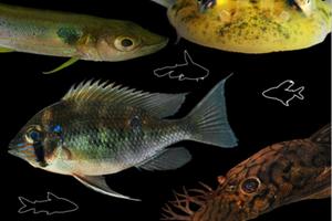 Catálogo sobre os peixes da ESEC Cuniã está disponível na internet