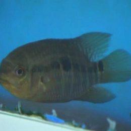 Com obra do Aquário do Pantanal parada, peixes vão para pesquisa
