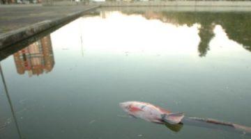 peixes mortos
